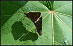 Title: Banded Skippers