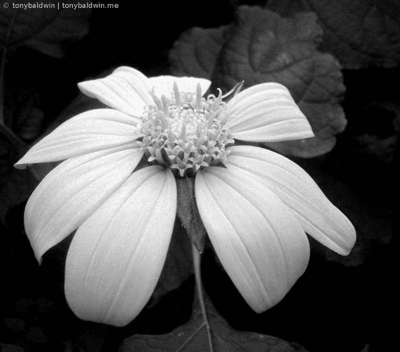 cosmo, b/w