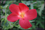 Title: hibiscus?Canon 300D