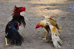Title: Cock Fight