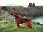 Title: Red Setter, Wicklow, Ireland