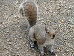 Title: A squirrel in London