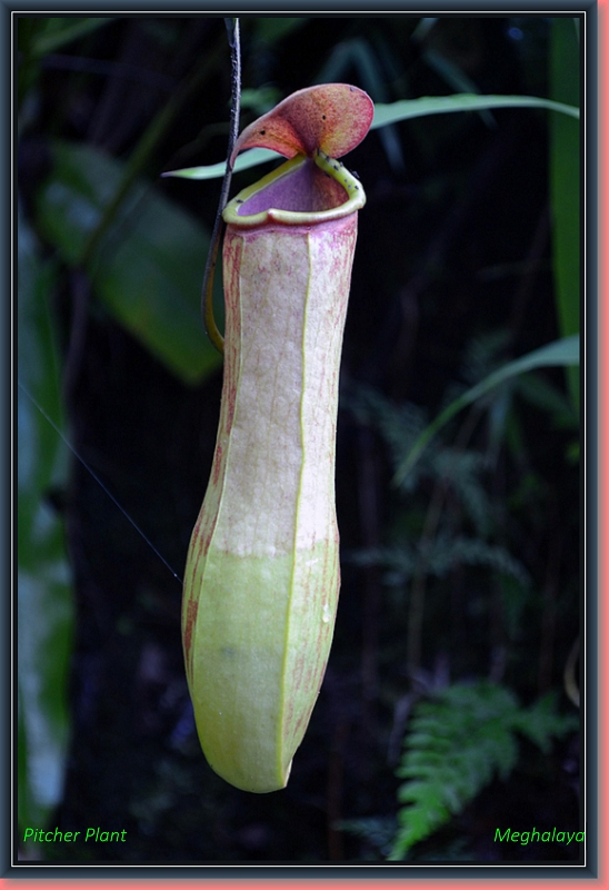 Insect Eating Plant