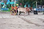 Title: Ox Cart Taxi