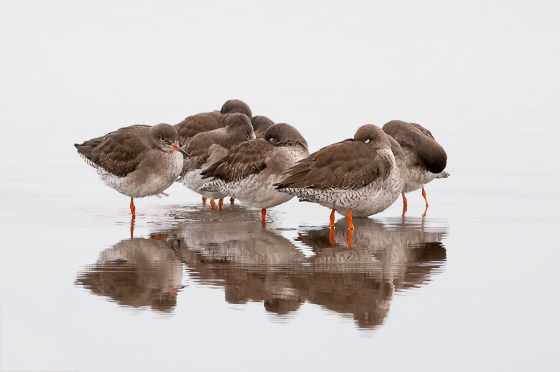 Redshanks reflection