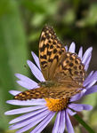 Title: The Silver-washed FritillaryCanon Digital Rebel 300D