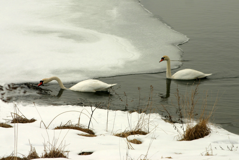 Two swans...