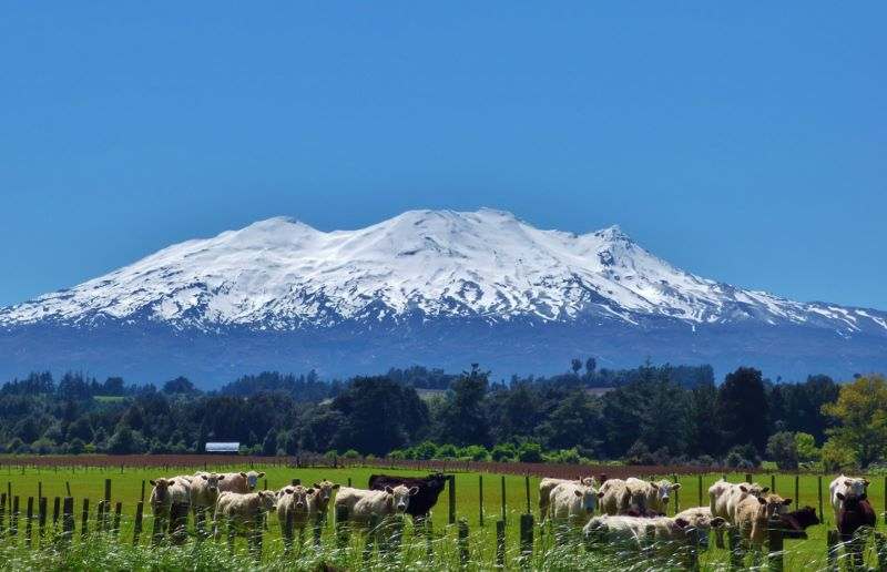 Mt Ruapehu with cows