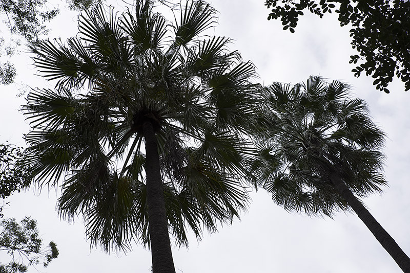 Up there - Fan palms
