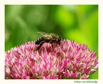 Title: Bee in the blossomsCanon EOS 20 D