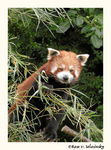 Title: Little red panda