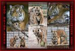 Title: A poster of our tiger cubs