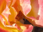 Title: rose in fire