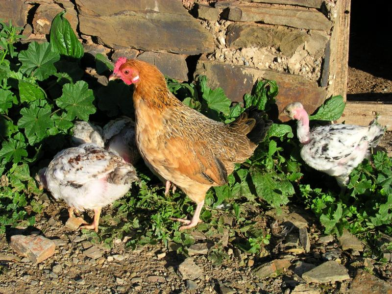 Hen and the young chickens