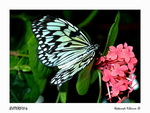 Title: BUTTERFLY-4