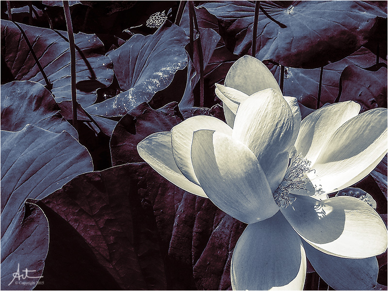 Lotus in the moon light