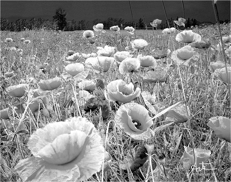 Longing for Poppy Season