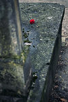 Title: P�re Lachaise: The Red CarnationCanon EOS 5D