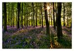 Title: Bluebell Wood (i)