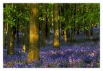 Title: Bluebell Wood (ii)