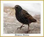 Title: Starling on IceNikon D300 DSLR