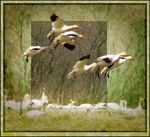 Title: Snow geese - approach