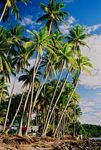 Title: Coconut Palms at Bon Bon BeachPentax Me Super