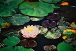 Title: Pink Waterlily