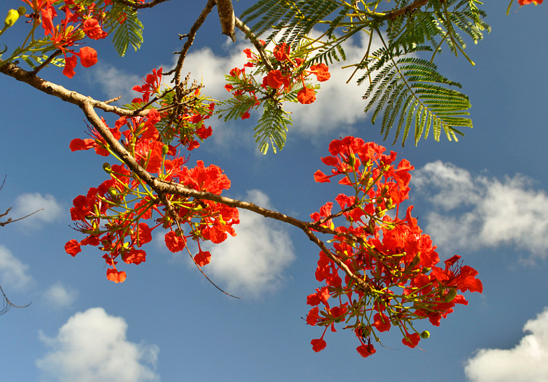 Red Poinciana