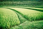 Title: Rice PaddyPentax Me Super