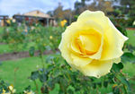Title: Yellow Rose of West OzNikon D 90
