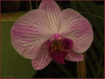 Title: Orchids of Kandy II