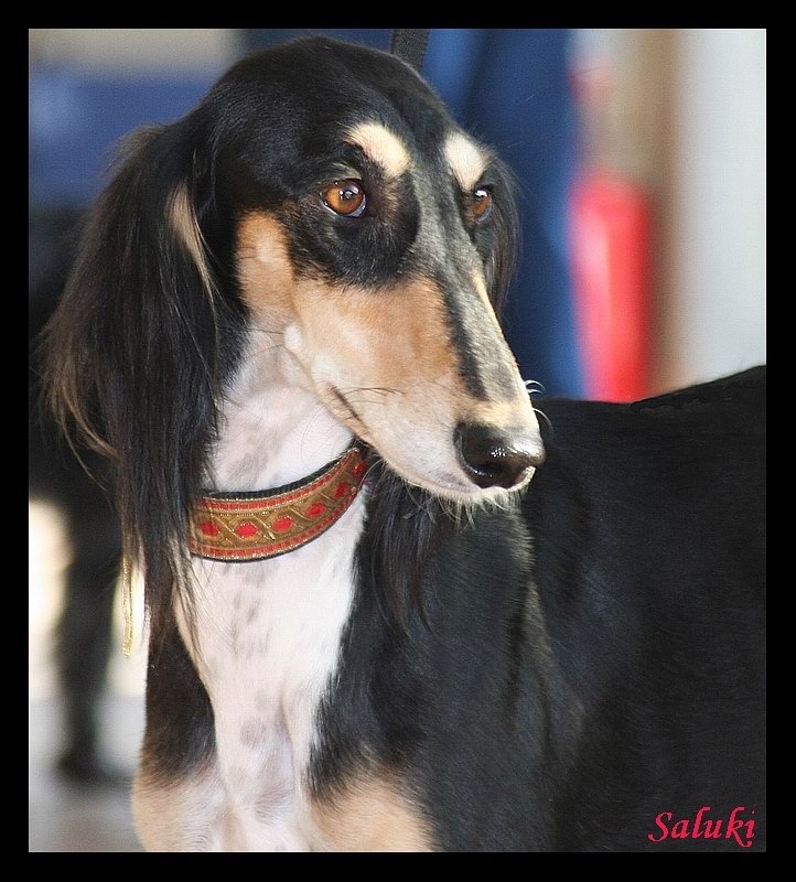 ancient saluki