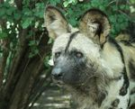 Title: The African wild dog