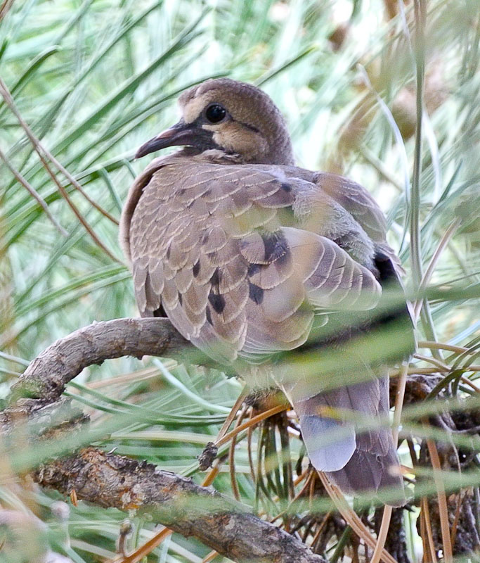 Young Dove in an Austrian Pine