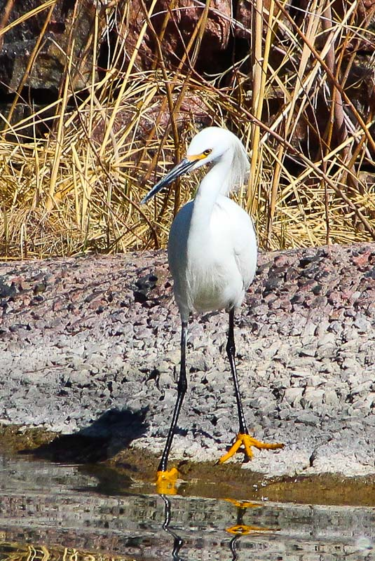 Colorado Snowy Egret