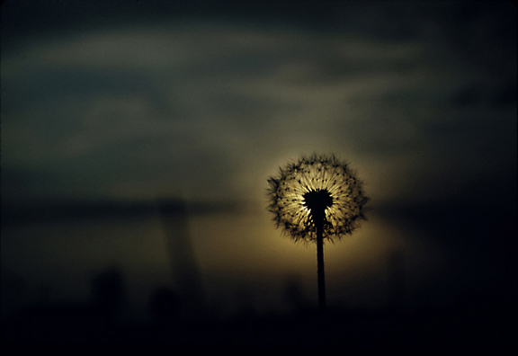 A Dandelion's Evening Reflection
