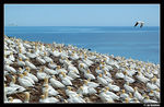 Title: Northern Gannets