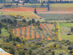 Title: Field of olive-trees