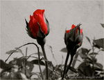 Title: Red Roses