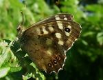 Title: Speckled Wood butterfly
