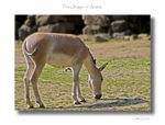 Title: The Onager of ArabiaCanon EOS 30D