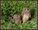 Title: Burrowing Owls II My Three SonsCanon EOS 30D
