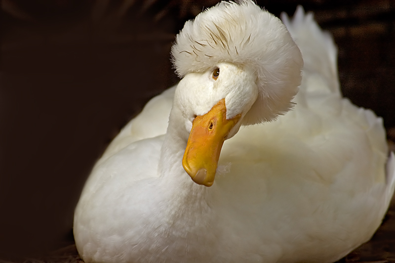 Crested Pekin Duck