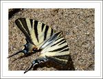 Title: Swallowtail on the Beach