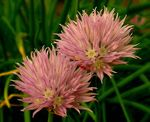 Title: Chives
