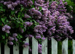 Title: Lovely Lilacs