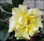 Title: Yellow Rose of Texas