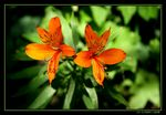 Title: Tiger Lily