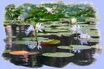 Title: Lovely Lotuses